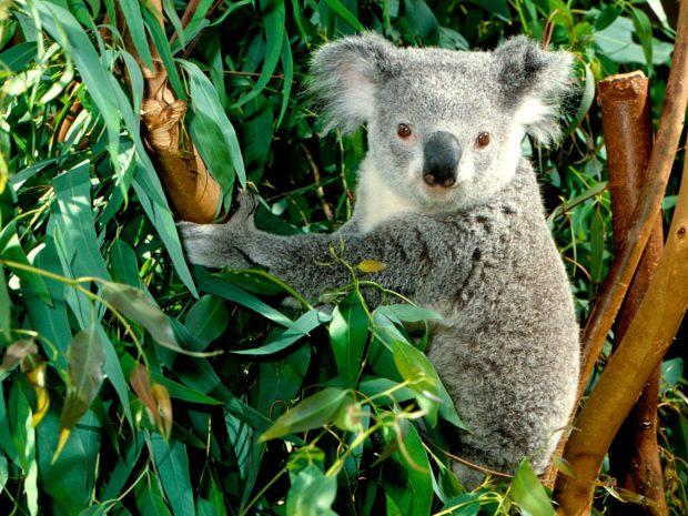 koala-and-eucalpytus