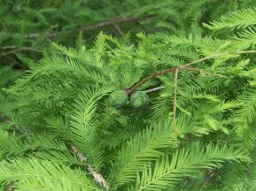 bald-cypress-foliage-cones-rs