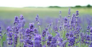 lavender-in-a-field