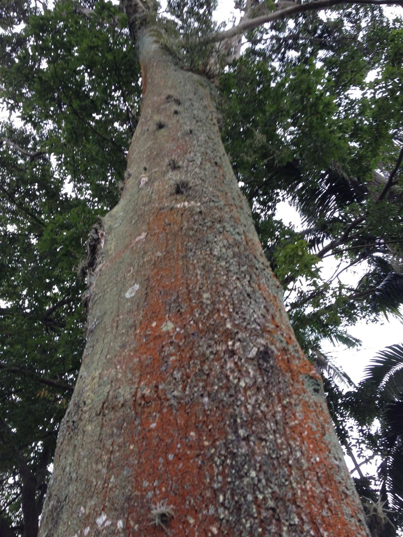 copiaba tree